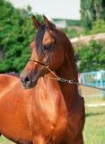 Portrait of bay arabian stallion. Outdoor Stock Photos