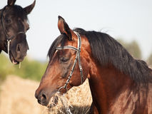 Portrait of bay and black stallions Stock Images