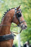 Portrait of bay carriage driving horse Stock Image