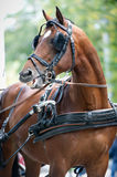 Portrait of bay carriage driving horse Royalty Free Stock Photos