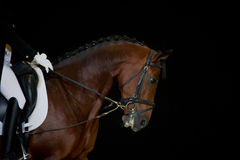 Portrait of bay dressage horse isolated. Portrait of sorrel dressage horse isolated on black background. Chestnut orlov trott horse portrait during dressage Stock Photos