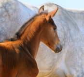 Portrait of bay foal. Bay foal on background of gray mare Royalty Free Stock Photography