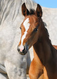 Portrait of bay foal. Bay foal on background of gray mare Stock Photos