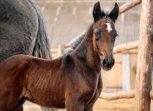 Portrait of a bay foal Stock Photo