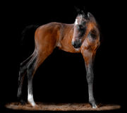 Portrait of a bay foal Royalty Free Stock Images