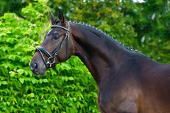 Portrait of a bay hannoverian German stallion. Breeder horse in russian luxury business stubble on green leaves of shrubs background Royalty Free Stock Image