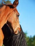 Portrait of  bay Hanoverian foal Stock Photography