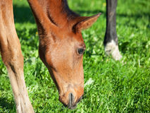 Portrait of  bay Hanoverian foal Stock Image