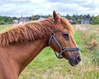 A portrait of a bay horse Royalty Free Stock Photo