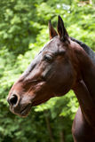 Portrait of Bay Horse. On blurred green background stock photography