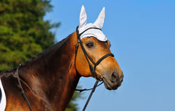 Portrait of bay horse. On blue sky Stock Photography