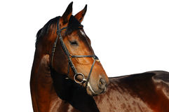 Portrait of bay horse. Isolated Stock Images