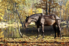 Portrait of bay horse Stock Images