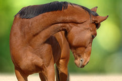 A portrait of bay horse Royalty Free Stock Photos