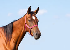 Portrait of a bay horse Royalty Free Stock Photos