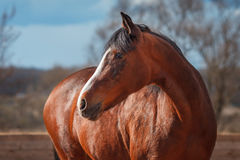 Portrait of Bay horse in the arena. Portrait of a Bay horse with a white blaze in the arena stock photo
