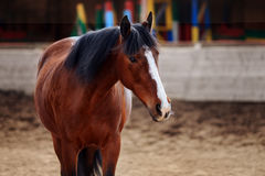 Portrait of Bay horse in the arena. Portrait of Bay horse after a workout stock photos