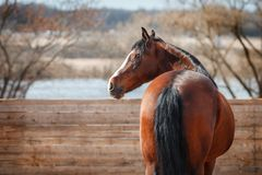 Portrait of Bay horse on the background of the arena Stock Images