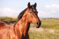 Portrait of a bay horse on background field. Portrait of a bay horse in the background field. Horizontal royalty free stock photos