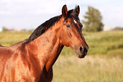 Portrait of a bay horse on background field. Portrait of a bay horse in the background field. Horizontal stock image
