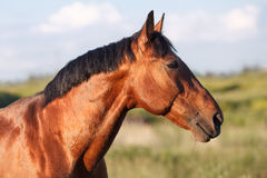 Portrait of a bay horse in the background field. Horizontal stock photos