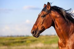 Portrait bay horse on a background of field. Portrait of a bay horse in the background of summer field stock photography