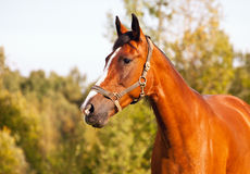 Portrait of bay horse on a background of trees Stock Images