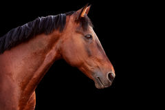 Portrait of a bay horse on black background. Portrait of a bay horse on a black background. Horizontal stock image