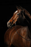 Portrait of a bay horse on the black background. Portrait of a sport bay horse on the black background Royalty Free Stock Photo