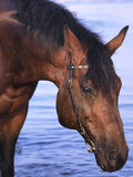 Portrait of bay horse at evening gulf Stock Photo