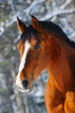Portrait of bay horse in forest