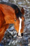 Portrait of bay horse in forest Stock Images
