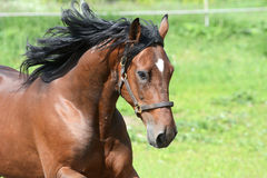 Portrait of the bay horse in freedom Stock Photo