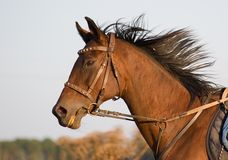 Portrait of a bay horse on gallop. Royalty Free Stock Photo
