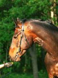 Portrait of the bay horse and hand Royalty Free Stock Photo