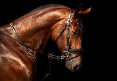 Portrait of bay horse Holsteins on a black background Royalty Free Stock Image