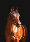 Portrait of the bay horse isolated on black. Portrait  bay horse day  outdoor summer sunny Stock Photo