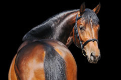 Portrait of bay horse isolated on black Royalty Free Stock Photo