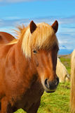 Portrait of bay horse with light mane Stock Photography
