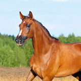 Portrait of bay horse looking back Stock Photo
