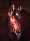Portrait  bay horse in loose-box Stock Photo