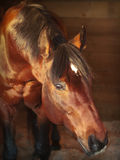 Portrait  bay horse in loose-box Royalty Free Stock Photo