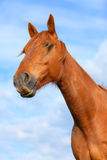 Portrait of a bay horse outdoors Royalty Free Stock Photos