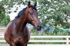 Portrait bay horse in the paddock Stock Photo