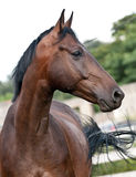 Portrait bay horse in the paddock Stock Images
