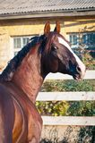 Portrait bay horse in the paddock Stock Photos