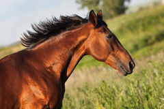 Portrait bay horse in profile against a background of green grass. Portrait of bay horse in profile on a green background royalty free stock photos