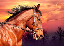 Portrait of bay horse on the run against the sunset. Portrait of bay horse on the run against the beauty sunset royalty free stock photos