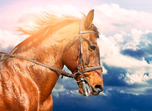 Portrait of bay horse on the run in the background of the cloudy sky. Portrait of bay horse on the run in the background of the sky royalty free stock image