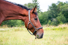 Portrait of a Bay horse Royalty Free Stock Images